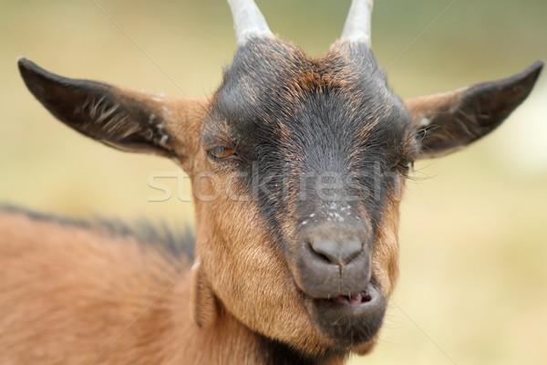 Portré vicces kecske rág barna fű Stock fotó © taviphoto