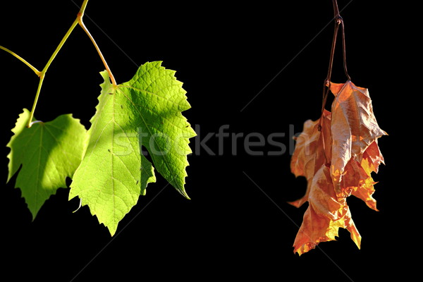 alive and dead leaves Stock photo © taviphoto