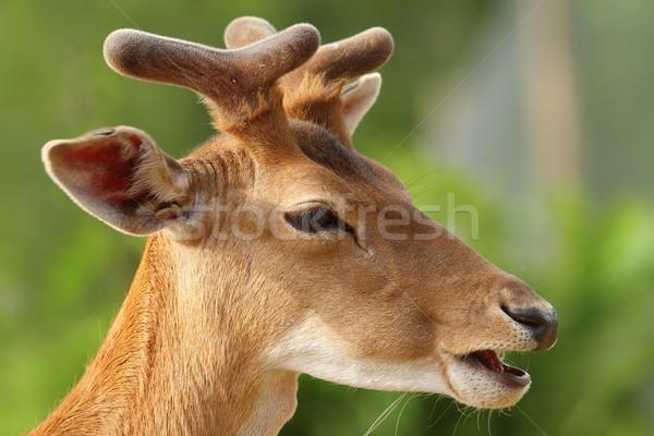 young fallow deer buck portrait Stock photo © taviphoto