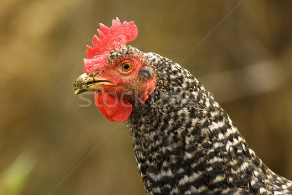 close up of mottled hen Stock photo © taviphoto