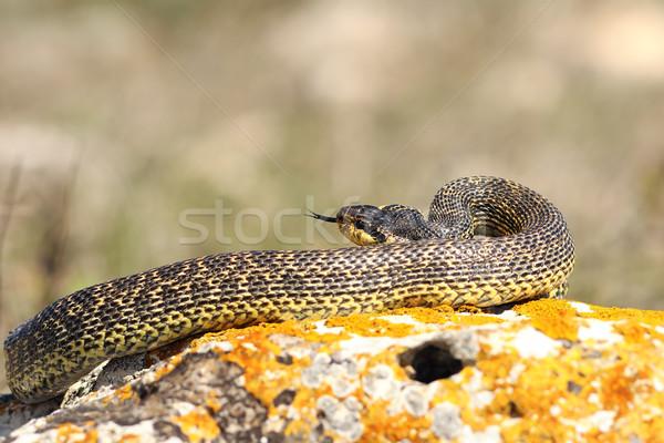 Serpente sciopero rock testa sola animale Foto d'archivio © taviphoto