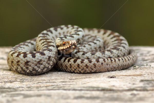 european crossed adder basking on wood Stock photo © taviphoto