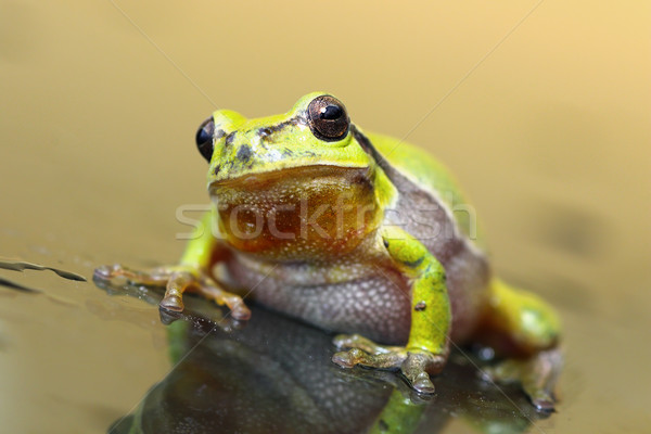cute tree frog on glass surface Stock photo © taviphoto