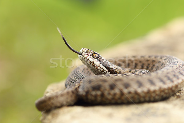aggressive hungarian meadow viper Stock photo © taviphoto