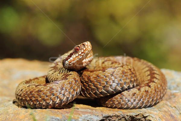 european crossed viper on rock Stock photo © taviphoto