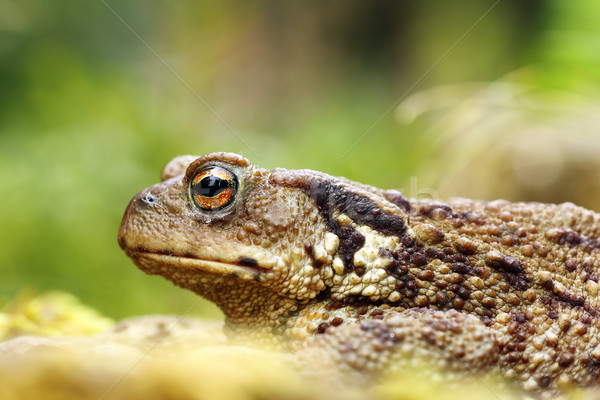 macro shot of toxic common brown toad Stock photo © taviphoto