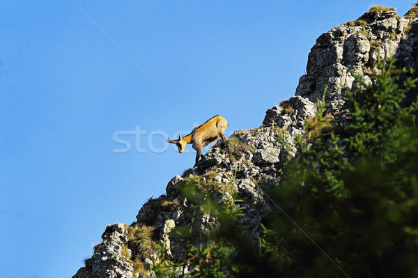 mountain wild goat on ridge Stock photo © taviphoto