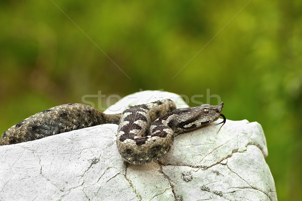 nose horned viper basking on a rock in natural habitat Stock photo © taviphoto