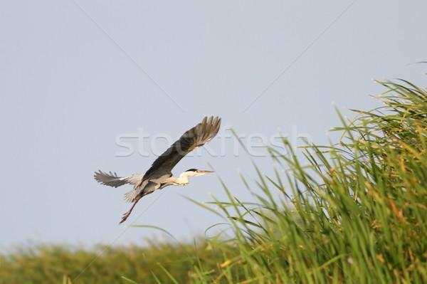 серый цапля полет серый Дунай дельта Сток-фото © taviphoto