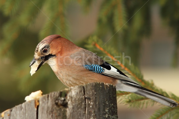 garrulus glandarius eating on stump feeder Stock photo © taviphoto