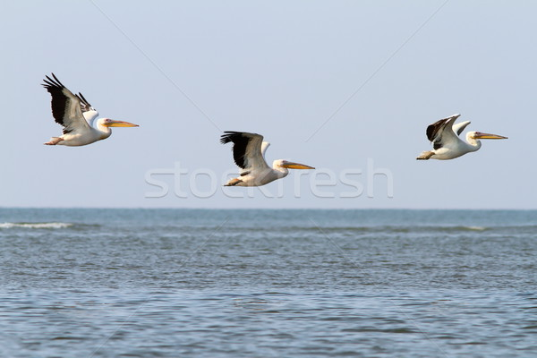 abstract formation of three pelicans Stock photo © taviphoto