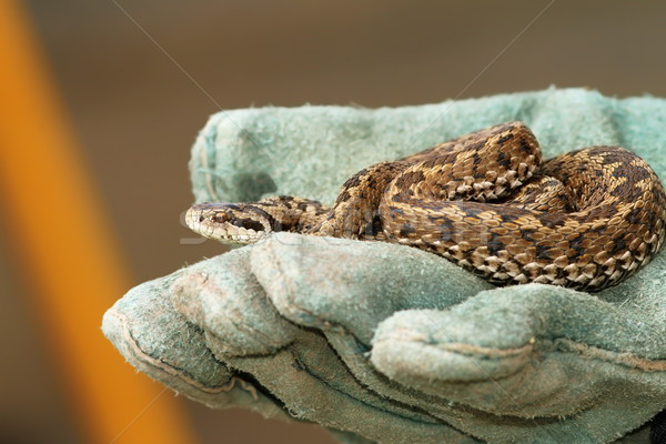 meadow viper in glove Stock photo © taviphoto