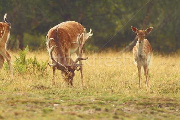 fallow deer buck grazing Stock photo © taviphoto