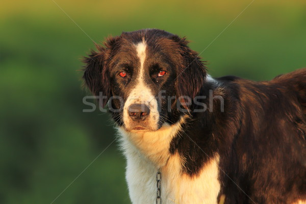portrait of romanian shepherd dog  Stock photo © taviphoto