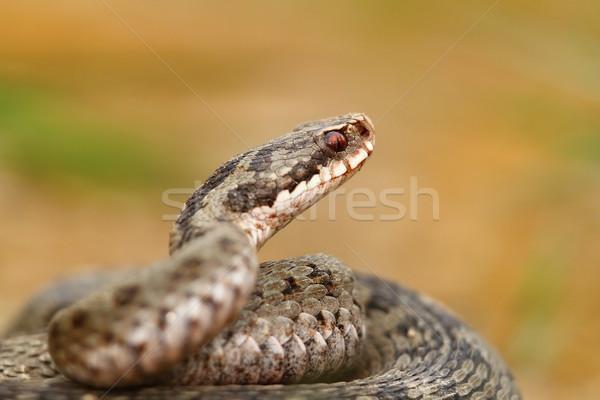portrait of vipera berus Stock photo © taviphoto