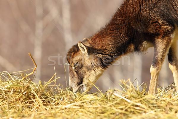 mouflon calf eating hay Stock photo © taviphoto