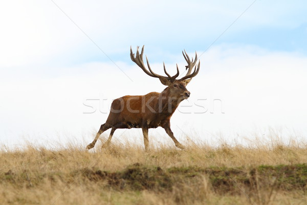 big red deer stag in the run Stock photo © taviphoto