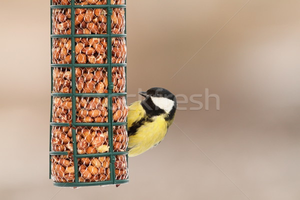 hungry great tit on bird feeder Stock photo © taviphoto