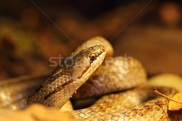 detail of smooth snake in autumn forest ground Stock photo © taviphoto