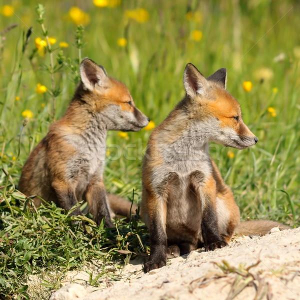 Rot Fuchs Brüder zwei ruhend Baby Stock foto © taviphoto