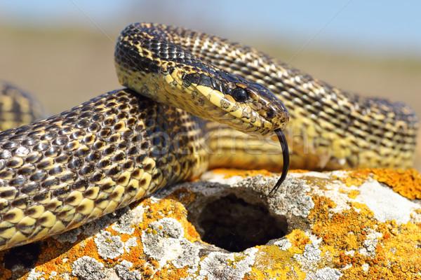 blotched snake closeup Stock photo © taviphoto