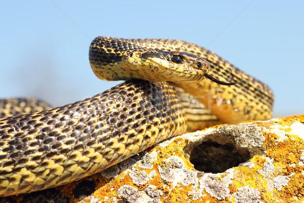Kígyó kész támadás természetes természet egyedül Stock fotó © taviphoto