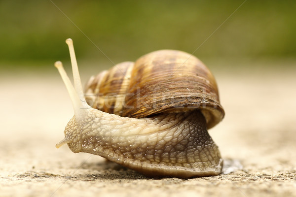 close up of a snail Stock photo © taviphoto