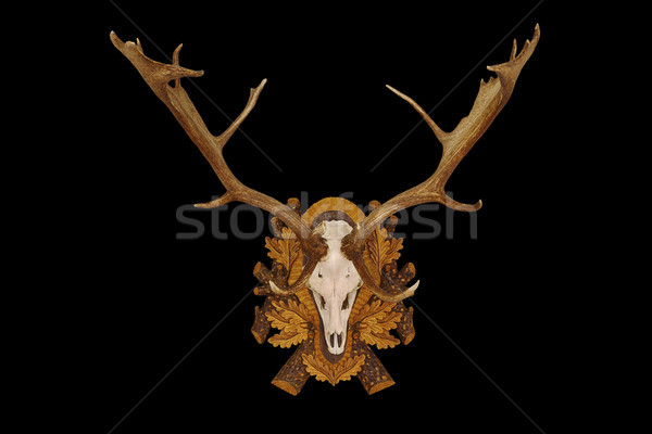 beautiful fallow deer trophy over black background Stock photo © taviphoto