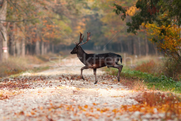 deer stag in the woods Stock photo © taviphoto