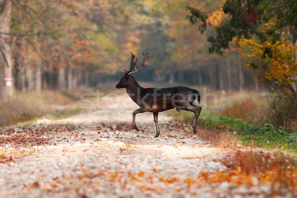 Jeleń lesie sezon wiejski drogowego Zdjęcia stock © taviphoto