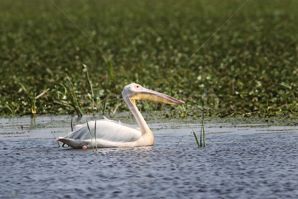 great white pelican floating on natural pond Stock photo © taviphoto