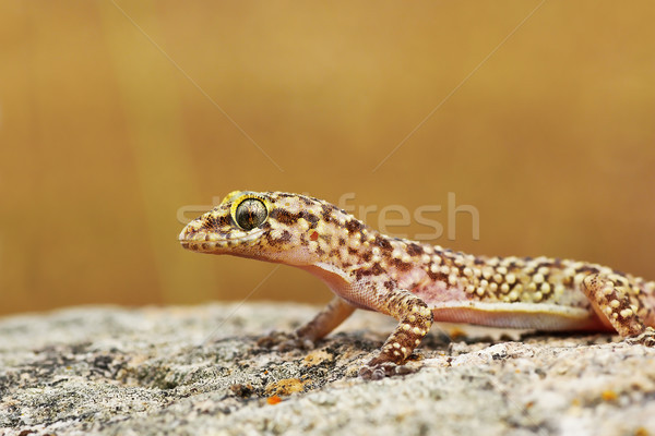 closeup of wild turkish gecko Stock photo © taviphoto
