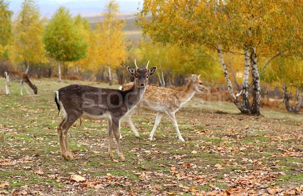 fallow deer young buck Stock photo © taviphoto