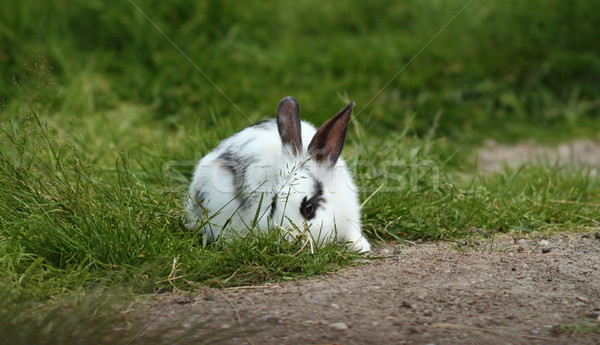 little white rabbit hiding in the grass Stock photo © taviphoto