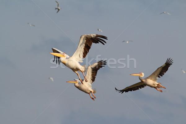flock of three pelicans flying Stock photo © taviphoto