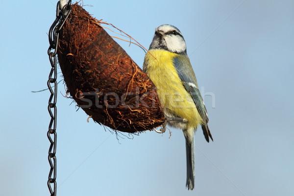 parus caeruleus feeding on coconut with lard Stock photo © taviphoto