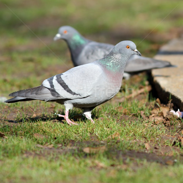 pigeon on lawn in the park Stock photo © taviphoto