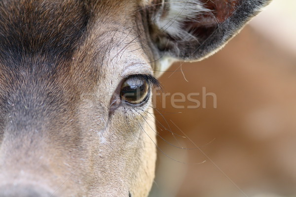 eye of a fallow deer Stock photo © taviphoto