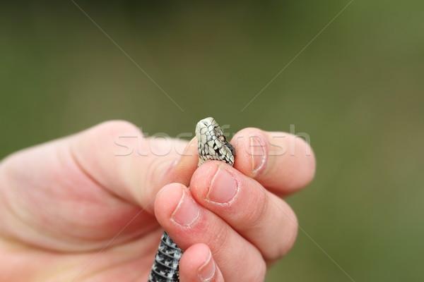Mano humana venenoso serpiente pradera fondo Foto stock © taviphoto