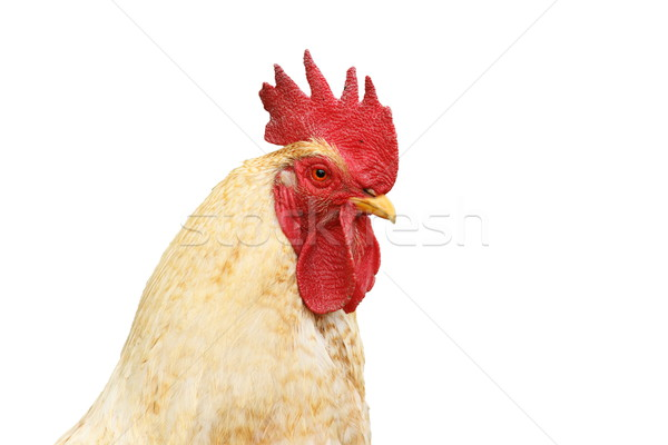 isolated portrait of white rooster Stock photo © taviphoto