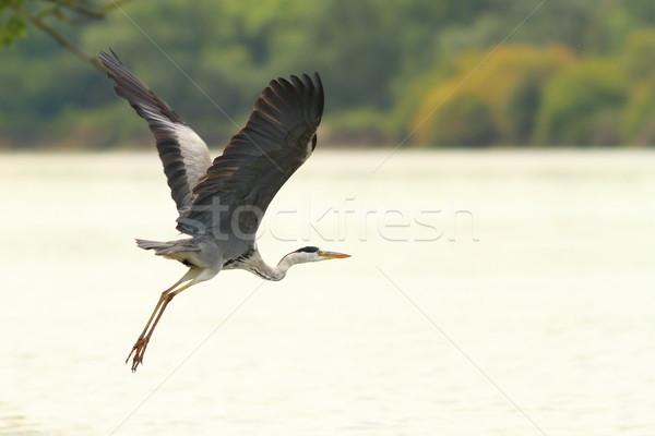 鷺 飛行 ドナウ川 川 自然 ストックフォト © taviphoto