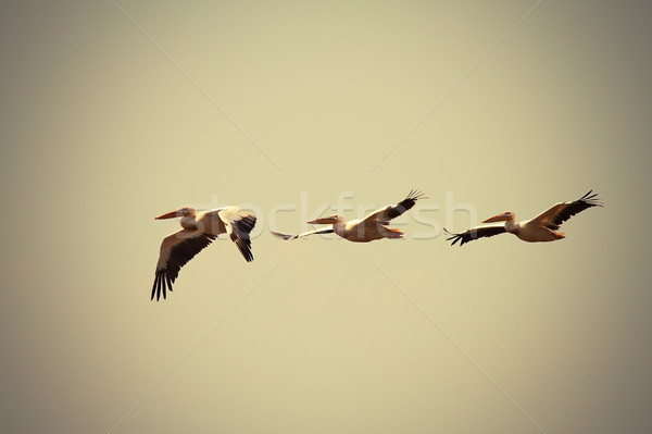 great pelicans in flight with vintage effect Stock photo © taviphoto