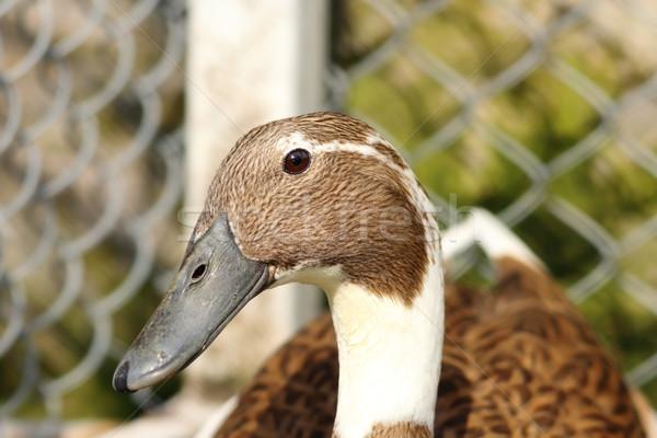portrait of indian runner duck Stock photo © taviphoto
