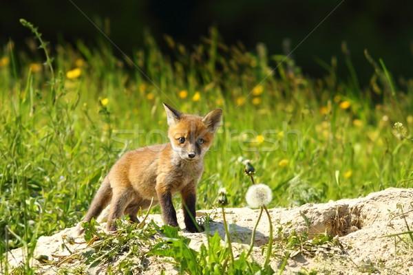 cute red fox cub looking at camera Stock photo © taviphoto