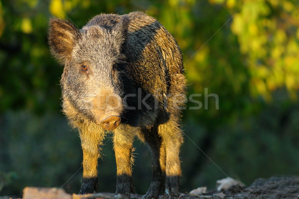 wild hog in a glade Stock photo © taviphoto
