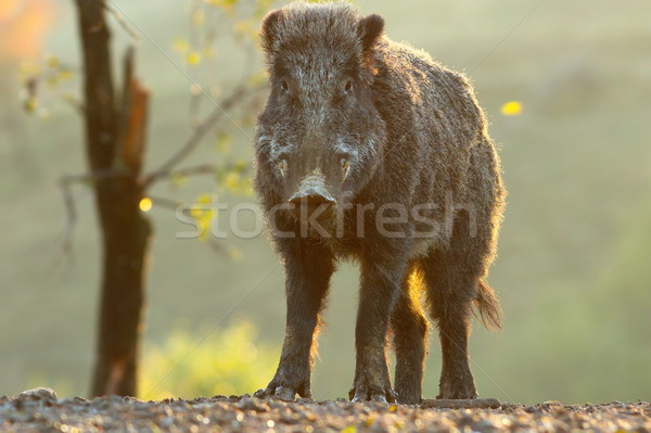 young wild boar male Stock photo © taviphoto