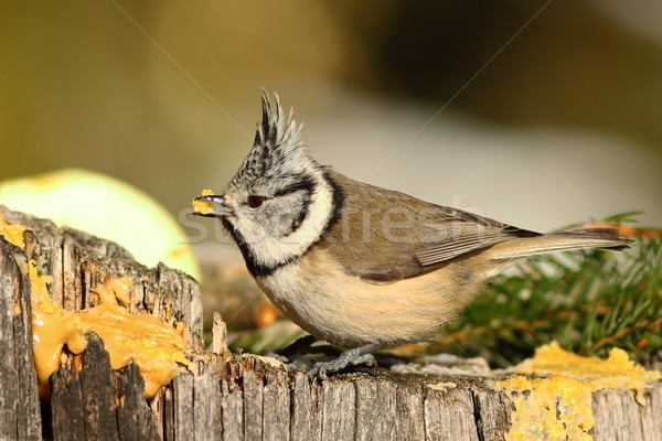close up of european crested tit Stock photo © taviphoto