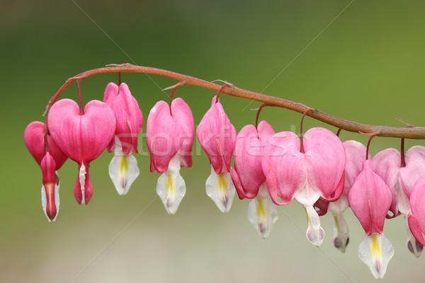 Saignements coeur fleurs vert sur accent Photo stock © taviphoto
