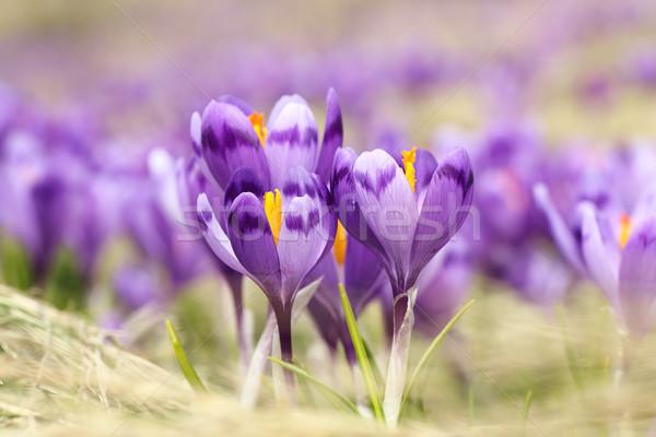 Primo piano selvatico zafferano fiori crocus crescita Foto d'archivio © taviphoto