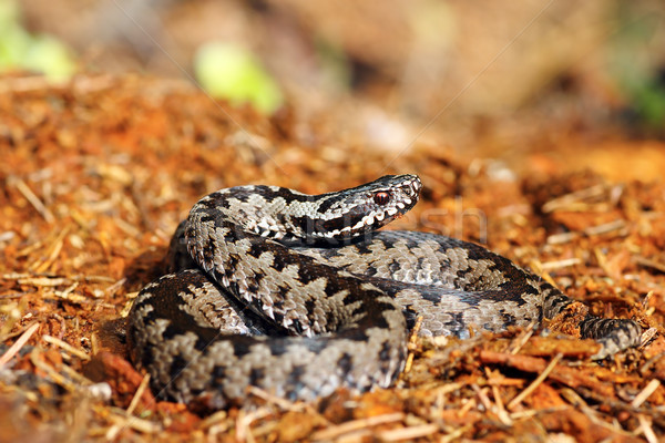 beautiful common adder on forest ground Stock photo © taviphoto